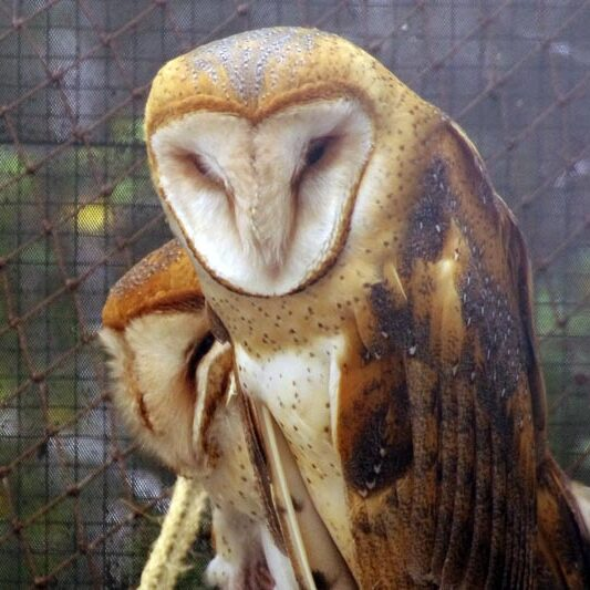 animal-barn-owl