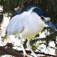 Heron perches on tree branch