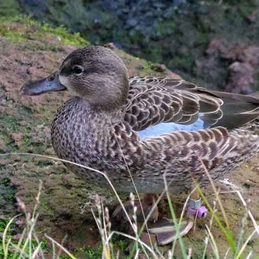 animal-blue-winged-teal