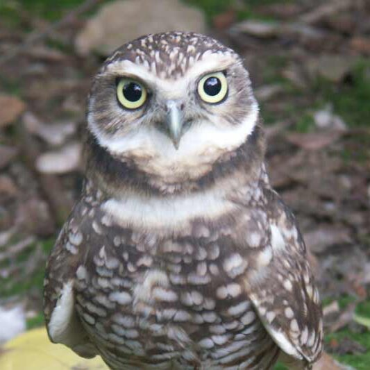 animal-burrowing-owl-800x533