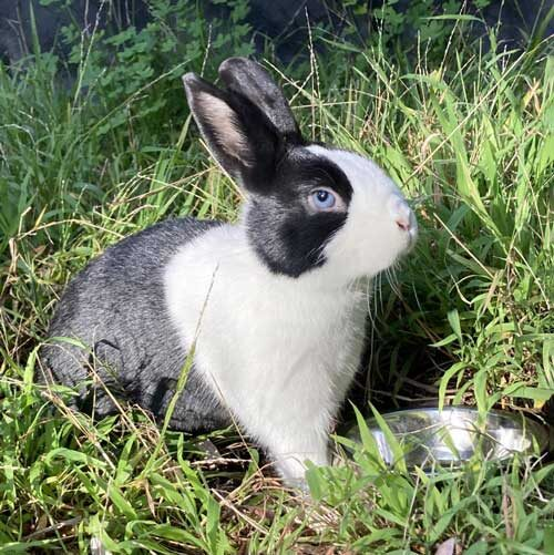Rabbit sits in grass with water bowl