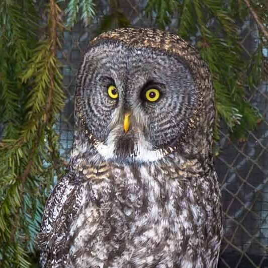 animal-great-gray-owl
