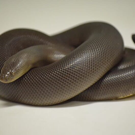animal-rubber-boa