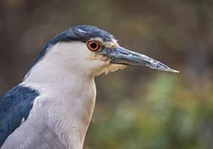image of a bird, Black Crowned Night Heron