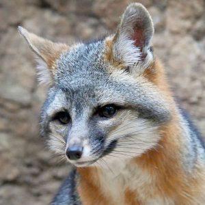 Gray fox turns head to the side.